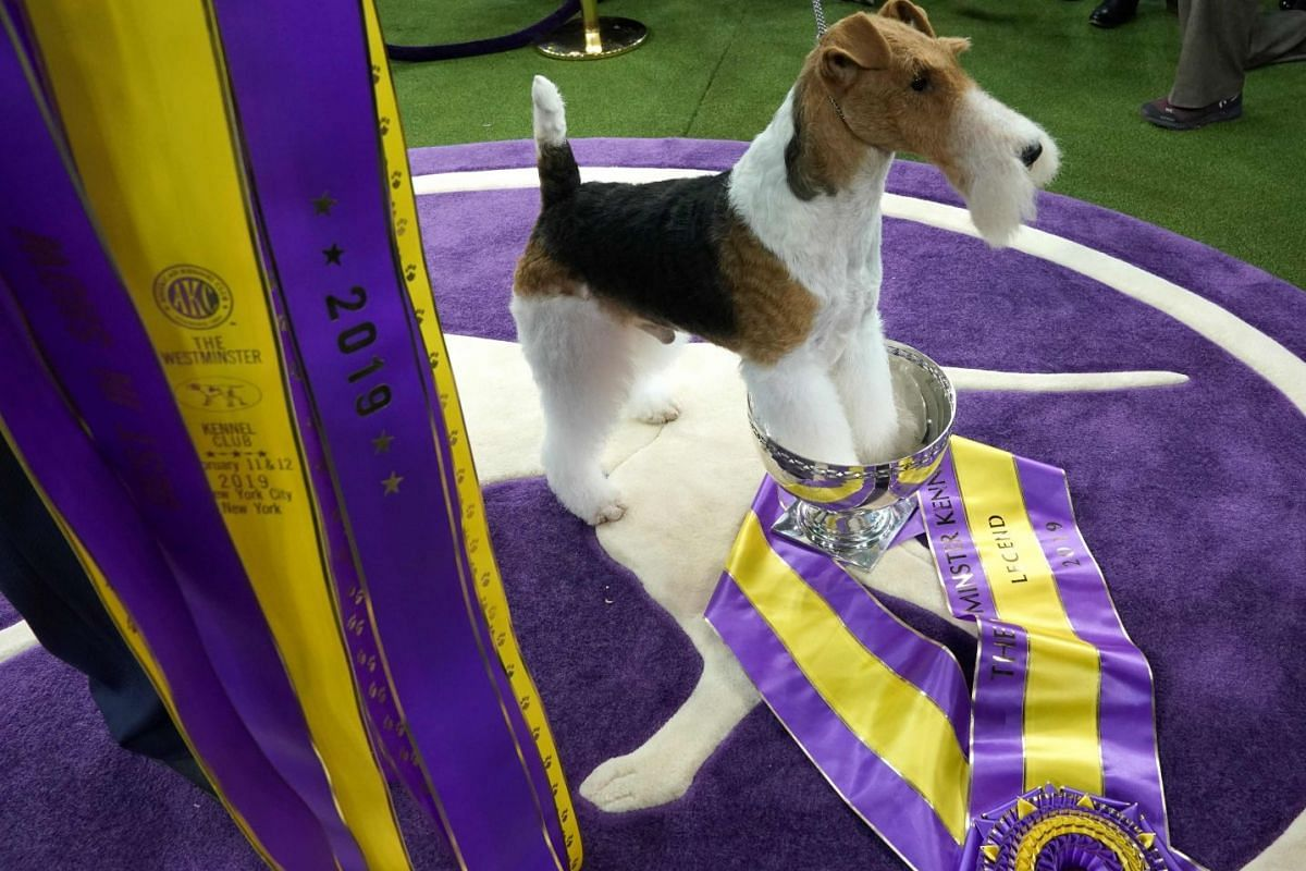 """King, the wire hair fox terrier, poses after winning """"Best in Show"""" at the Westminster Kennel Club 143rd Annual Dog Show in Madison Square Garden in New York on February 12, 2019. PHOTO: AFP"""