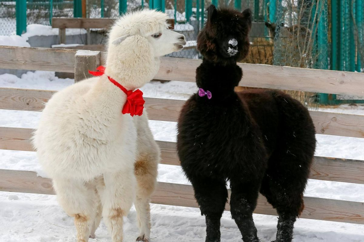 Male alpaca Romeo (left) and female Juliette are dressed for Valentine's Day at their open-air enclosure at Roev Ruchey Zoo in Krasnoyarsk, Russia.