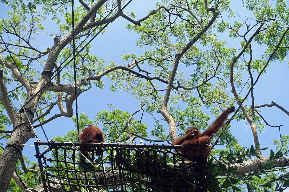 Endah (at right), the six-year-old granddaughter of the Singapore Zoo's legendary Ah Meng, stretching herself in the sun next to Joko (far left), also six, at the free-ranging enclosure for orang utans on Dec 26. Both orang utans were born at the zoo