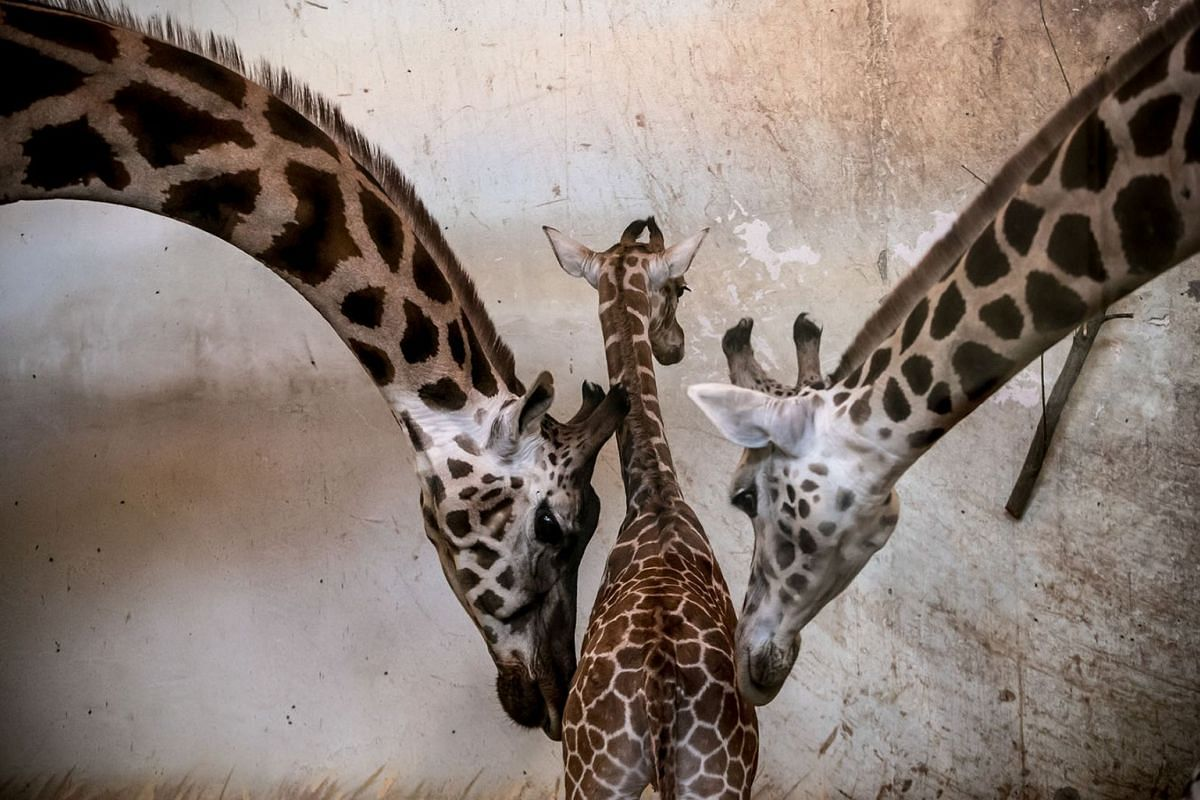 A fourteen-day-old male Nubian giraffe calf (C) is framed by two adults in the animals' enclosure at the zoo in Prague, Czech Republic, February 25, 2019. PHOTO: EPA-EFE