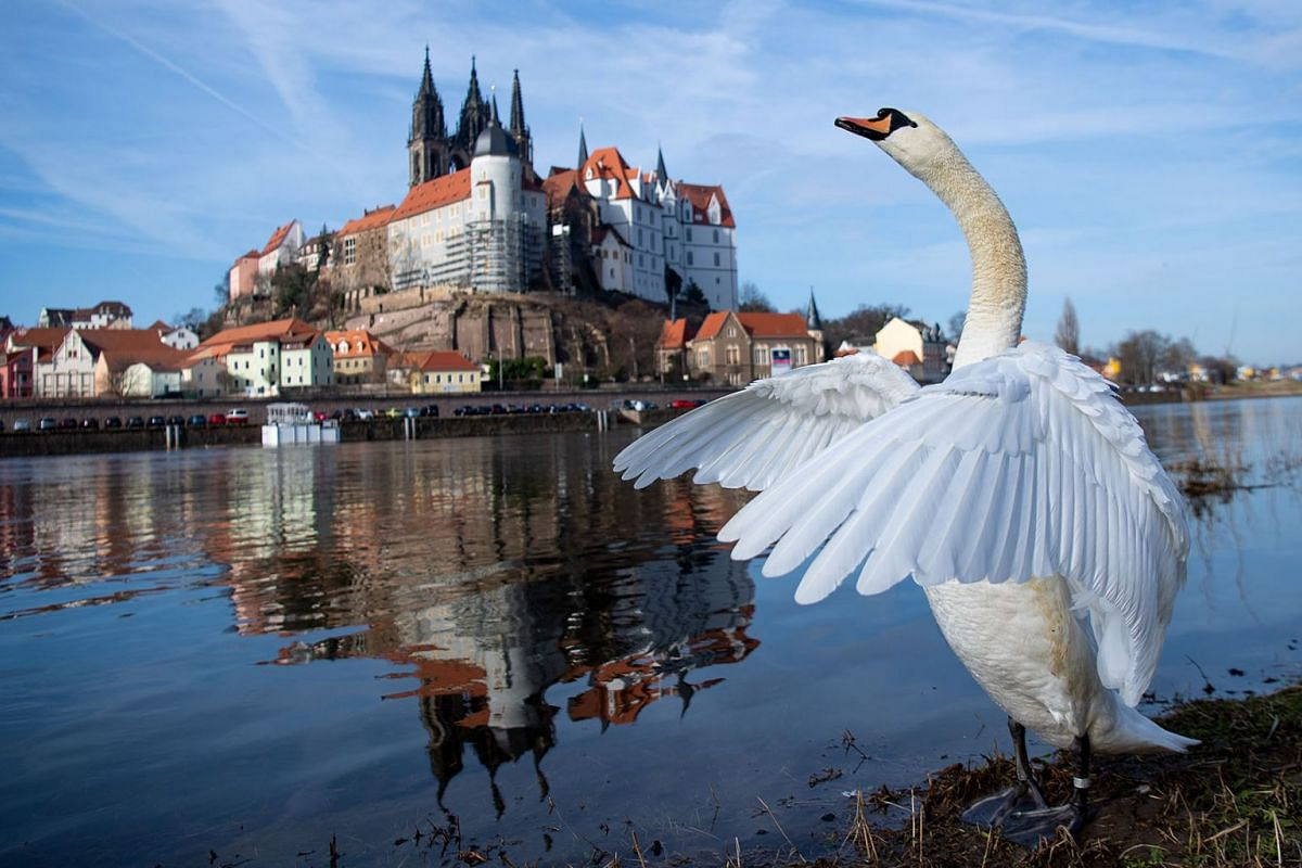 A swan stretches out its wings on the banks of the Elbe river on February  26, 2019, Meissen, Germany. PHOTO: DPA