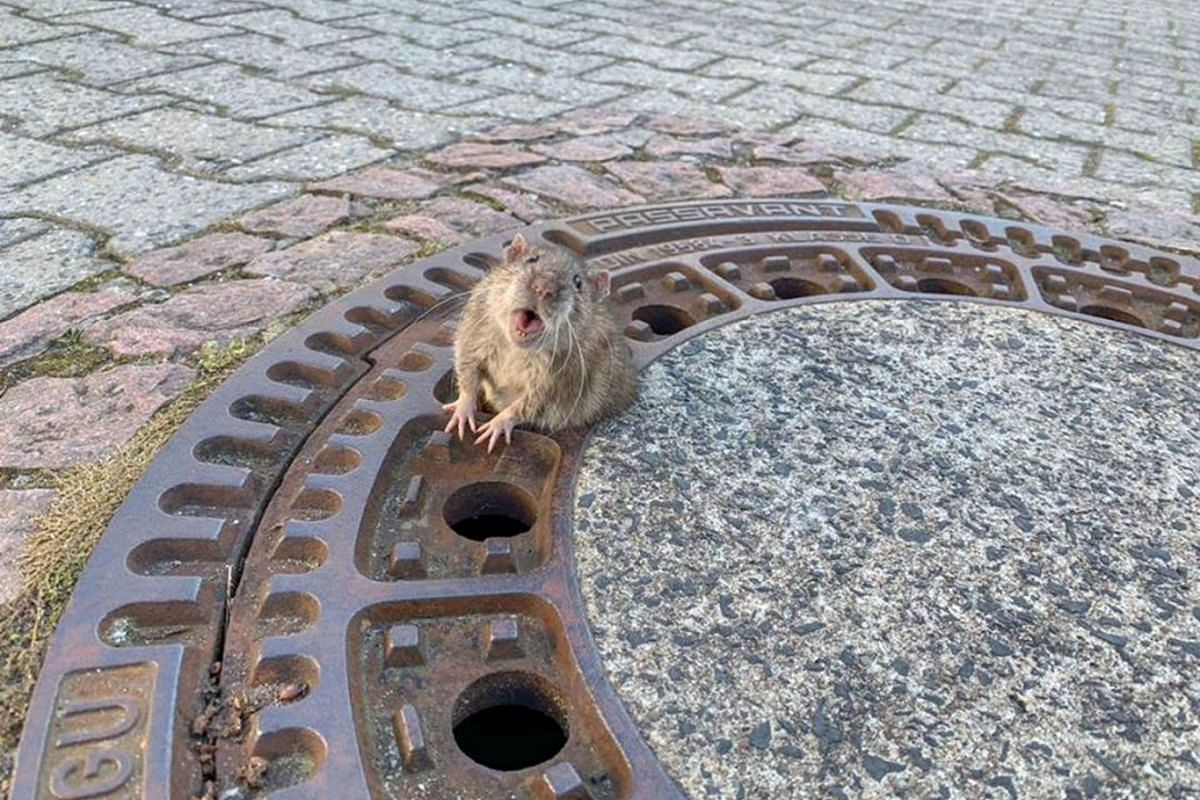 A rat reacts while being stuck in a manhole cover in Bensheim-Auerbach, Germany on February 24, 2019 in this image taken from social media. PHOTO: BERUFSTIERRETTUNG RHEIN NECKAR VIA REUTERS