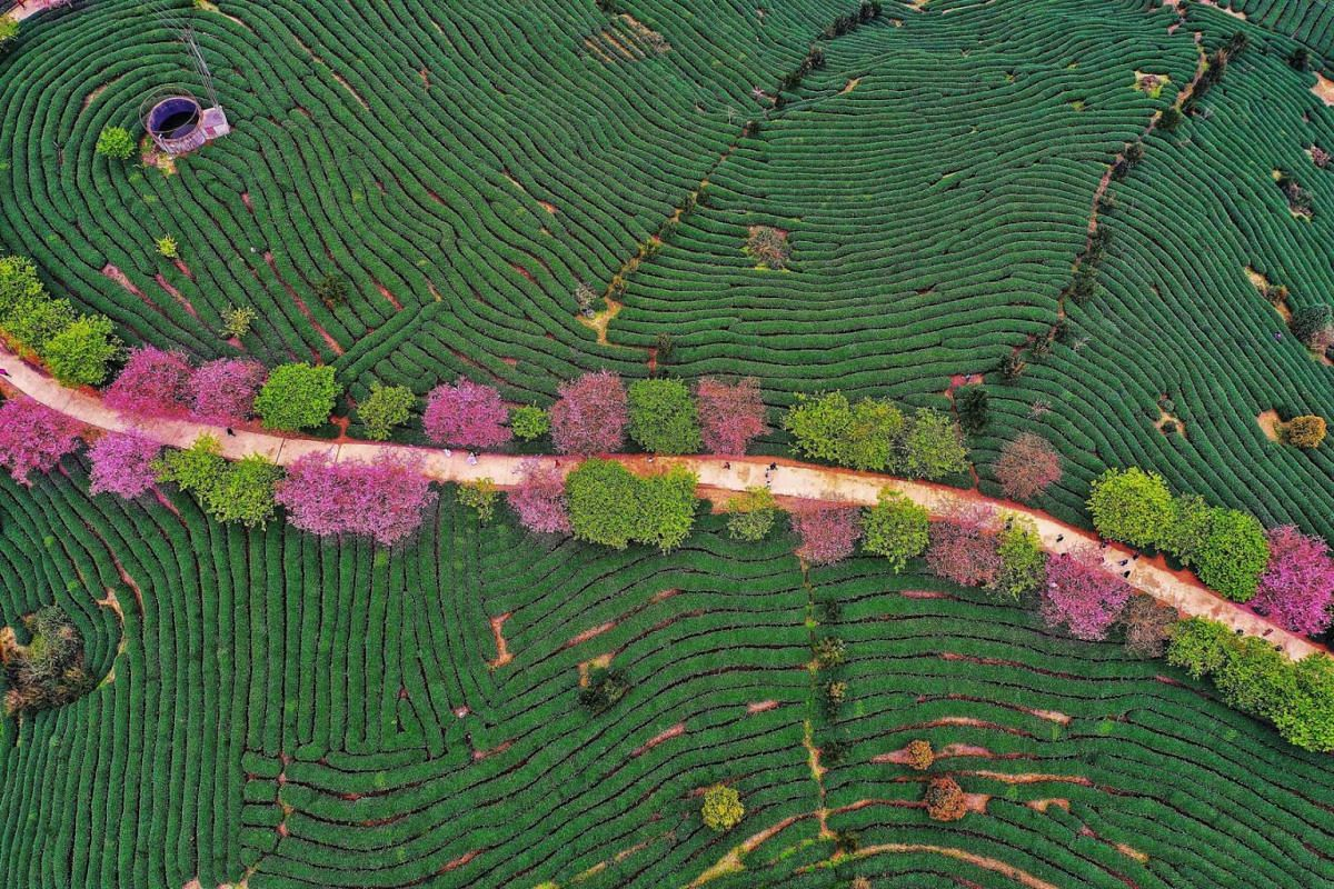 A photo taken on February 26, 2019 shows an aerial view of a tea field in Zhangping in China's eastern Fujian province. PHOTO: AFP