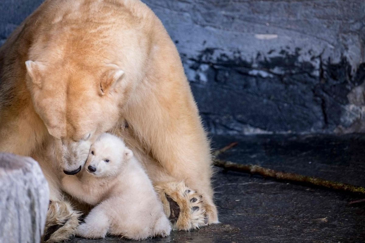 The polar bear cub in the Copenhagen Zoo comes outside for the first time on February 28, 2019. PHOTO: RITZAU SCANPIX VIA AFP