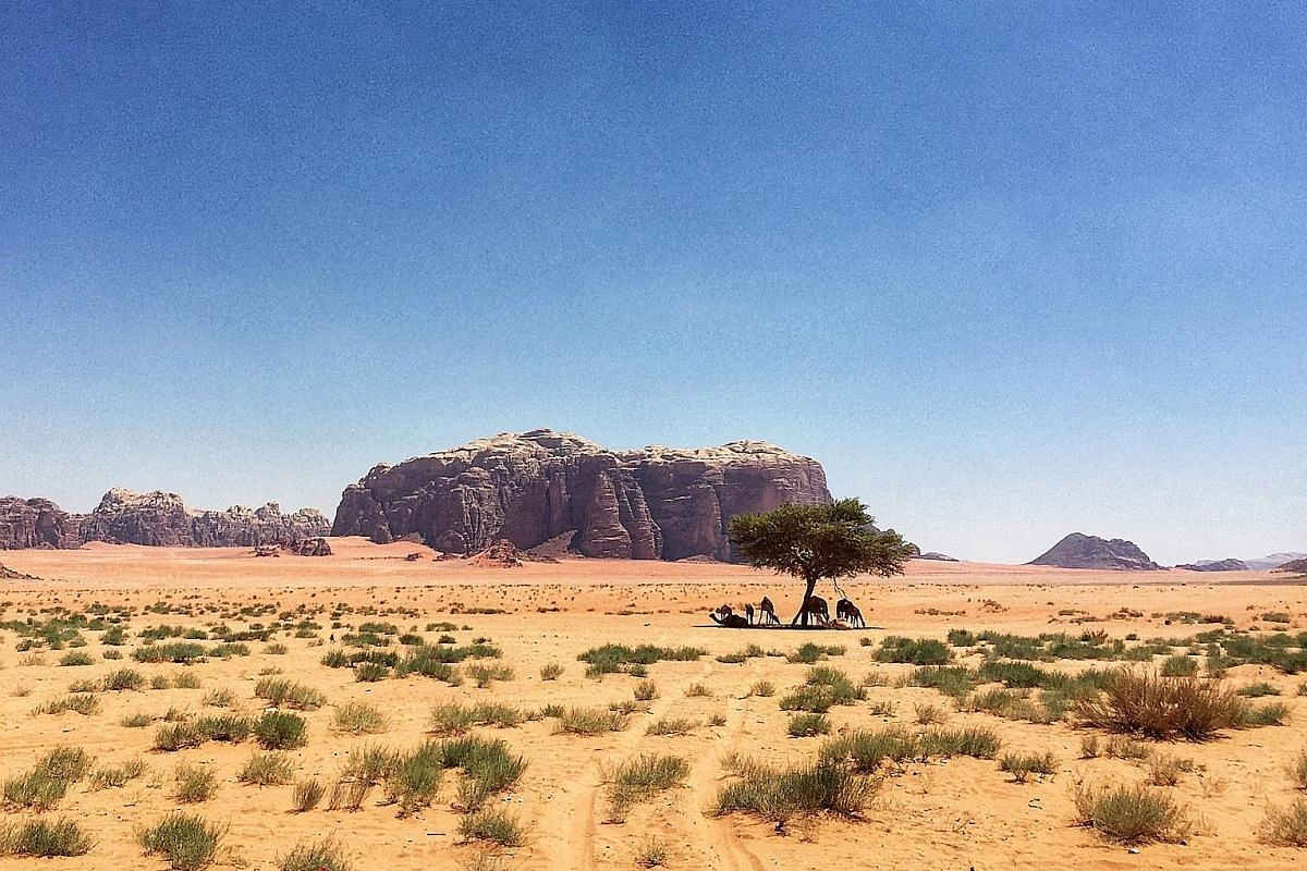 According to the guide at Wadi Rum, there are only four trees in the desert and this (above) is among them.