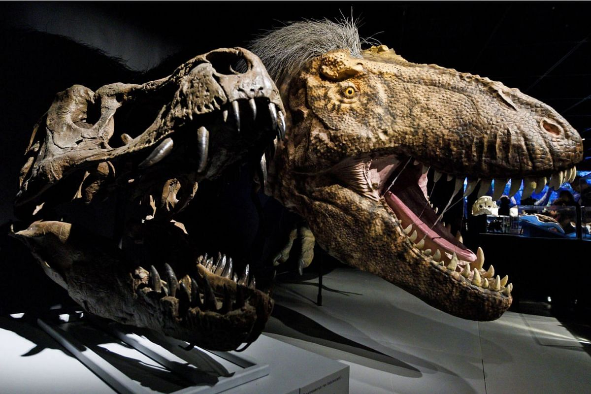 A scientifically accurate model of a Tyrannosaurus rex and a fossil of a skull are seen as part of a new exhibit at the American Museum of Natural History called 'T. Rex: The Ultimate Predator' in New York, March 5, 2019. The exhibit which opens on M