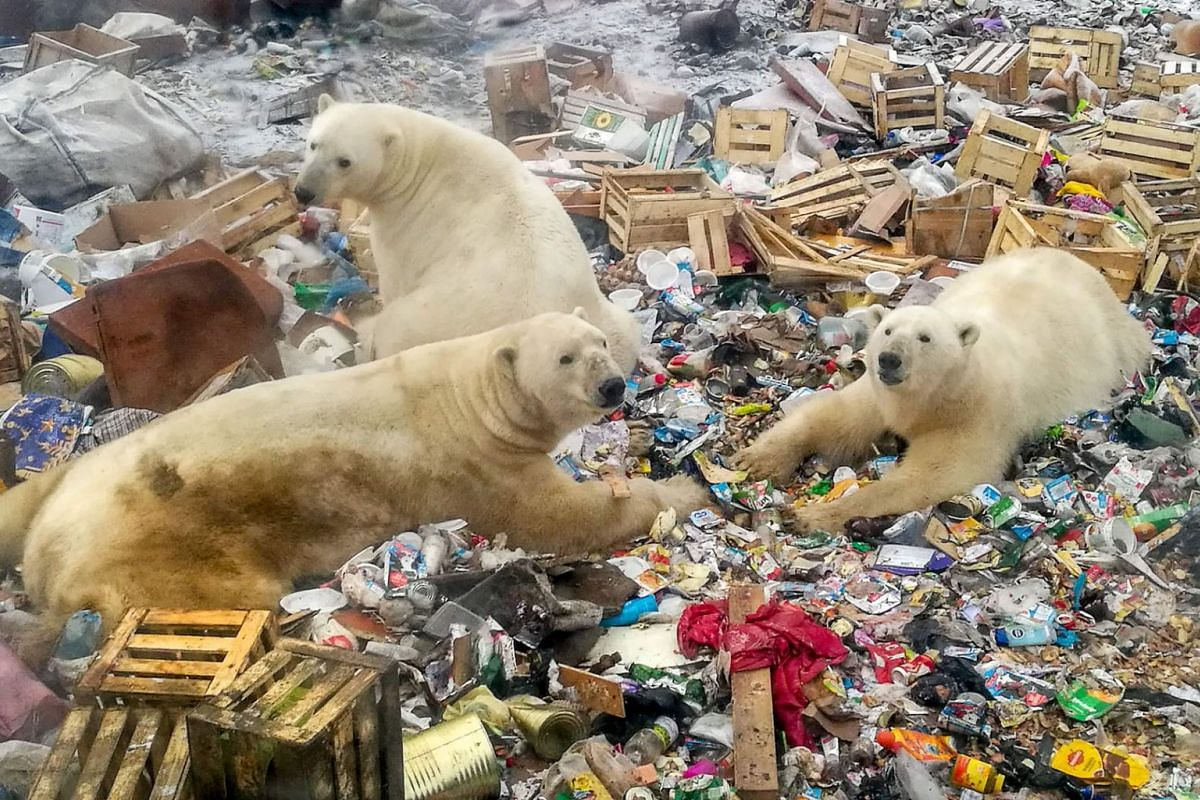A photo issued on March 5, 2019, shows polar bears feeding at a garbage dump near the village of Belushya Guba on October 31, 2018, on the remote Russian northern Novaya Zemlya archipelago, a tightly controlled military area where a village declared