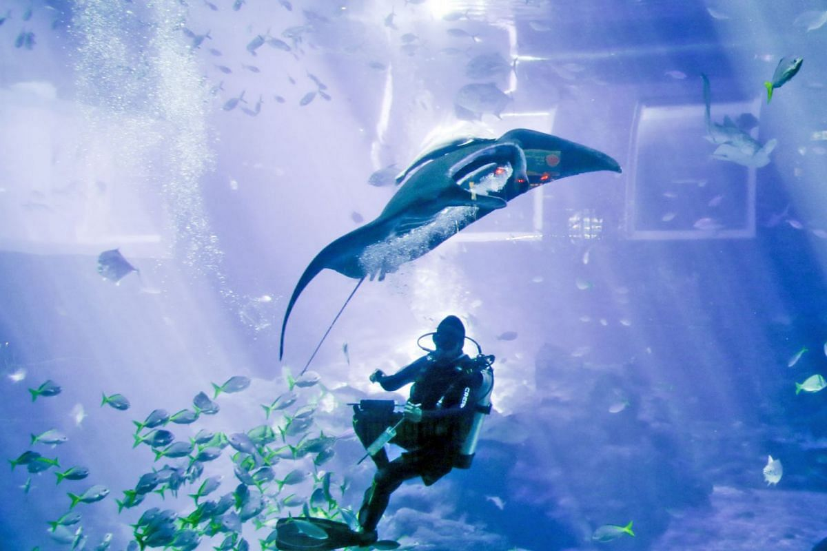 One of three Manta Rays at S.E.A. Aquarium interacts with the diver who syringe-feeds them underwater on March 14, 2019. The public can view the amazing interaction between one of the world's smartest fish – Manta Rays – and aquarists in an enr