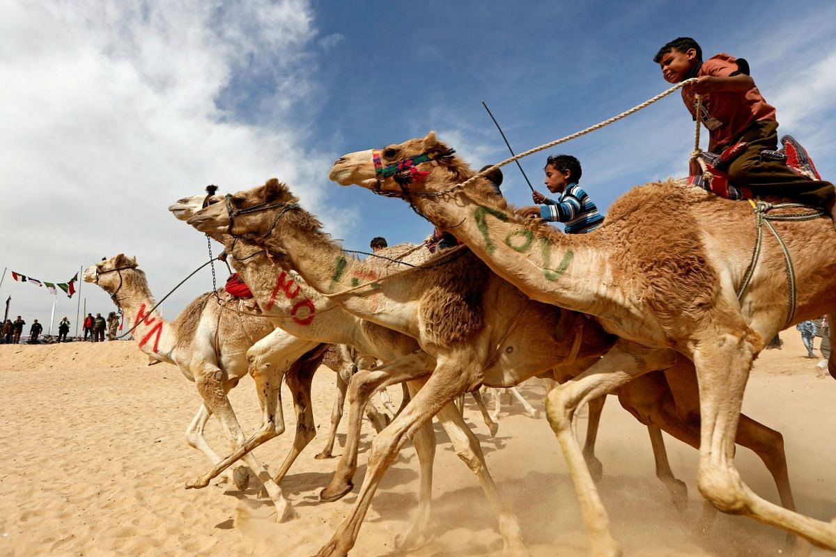 Jockeys, most of whom are children, compete on their mounts during the 18th International Camel Racing festival at the Sarabium desert in Ismailia, Egypt, March 12, 2019.