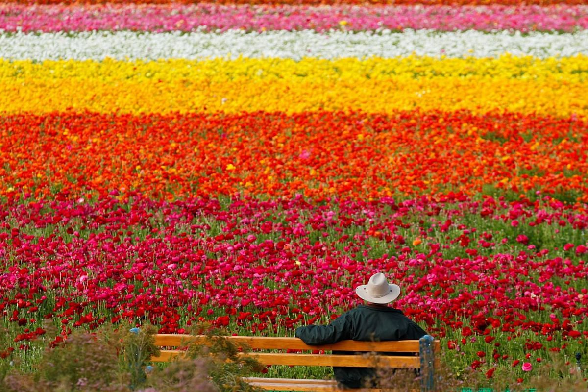 A visitor looks at the Flower Fields at Carlsbad Ranch as he enjoys nearly 50 acres of blooming giant Tecolote ranunculus flowers in Carlsbad, California, U.S., March 21, 2019. PHOTO: REUTERS