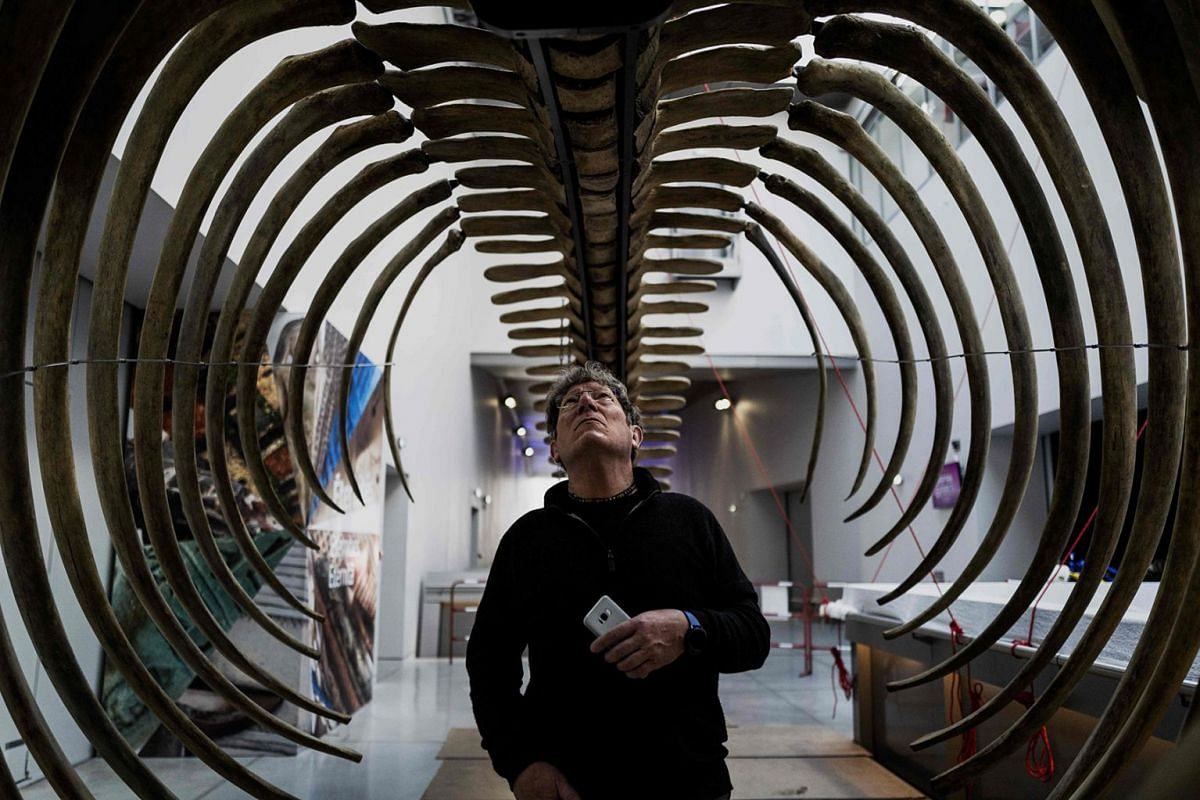 A Confluences Museum employee checks the last details on the restored skeleton of a whale in Lyon, France, on March, 25, 2019, ahead of its exhibition to the public.