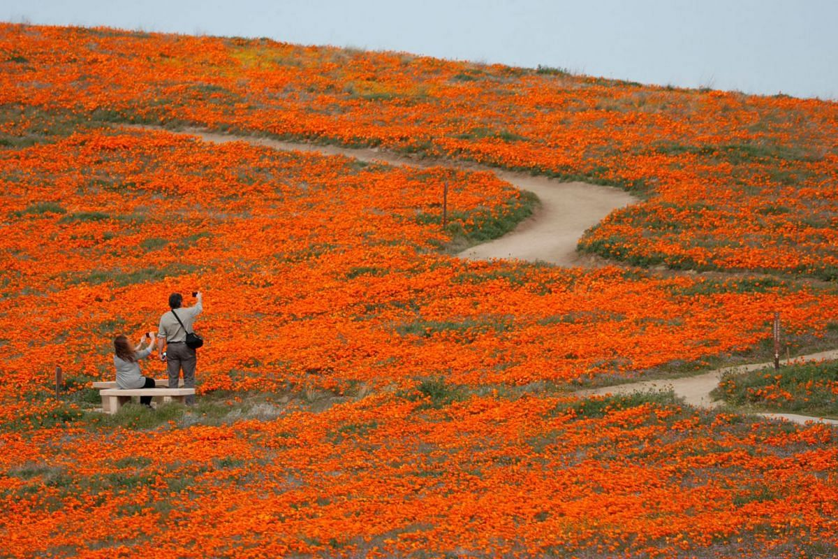 Visitors look at poppies at the Antelope Valley California Poppy Reserve in Lancaster, California, U.S., March 26, 2019. PHOTO: REUTERS