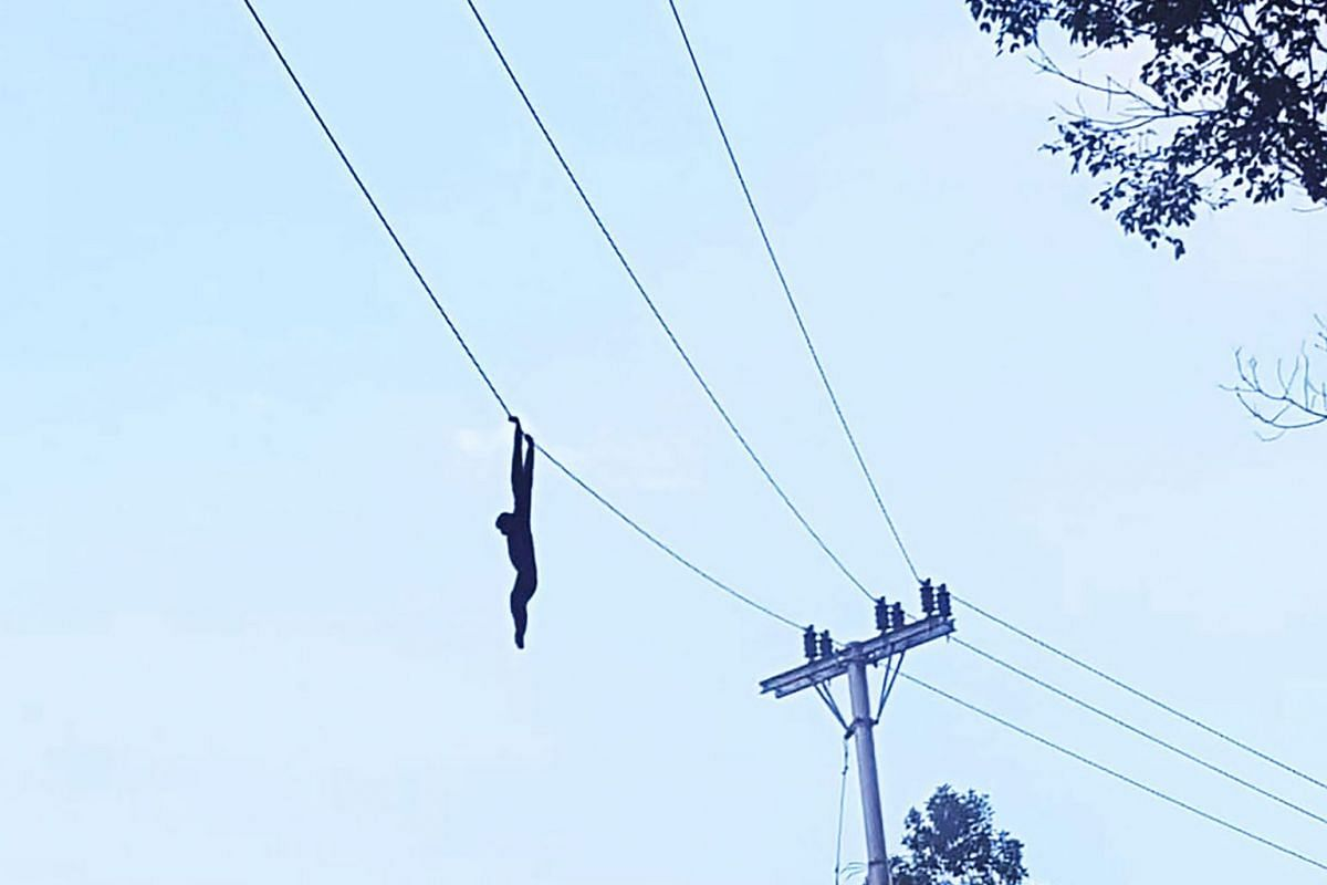 In a rare incident that highlights the perils of the Indonesian government's infrastructure drive, a black-furred gibbon was electrocuted by a power line that had only recently been strung through a forest in Padang Lawas Utara regency in North Sumat