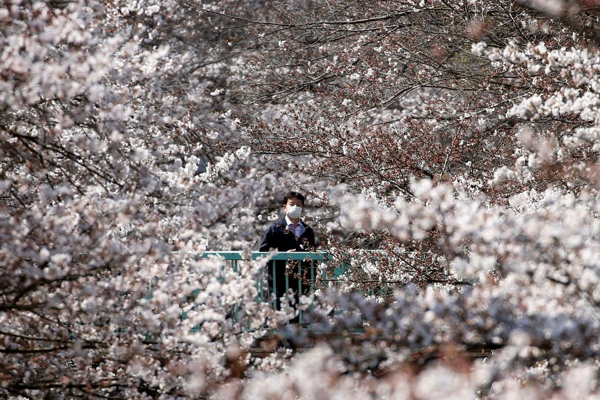 A man looks at cherry blossoms, almost in full bloom in Tokyo, Japan, March 27, 2019.