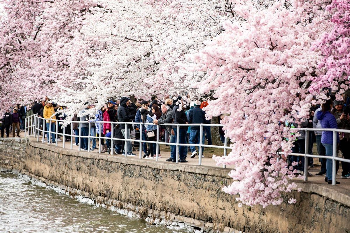 Visitors walk around the Tidal Basin viewing Yoshino cherry blossom trees as they approach peak bloom in Washington, DC, March 31, 2019. PHOTO:  EPA-EFE