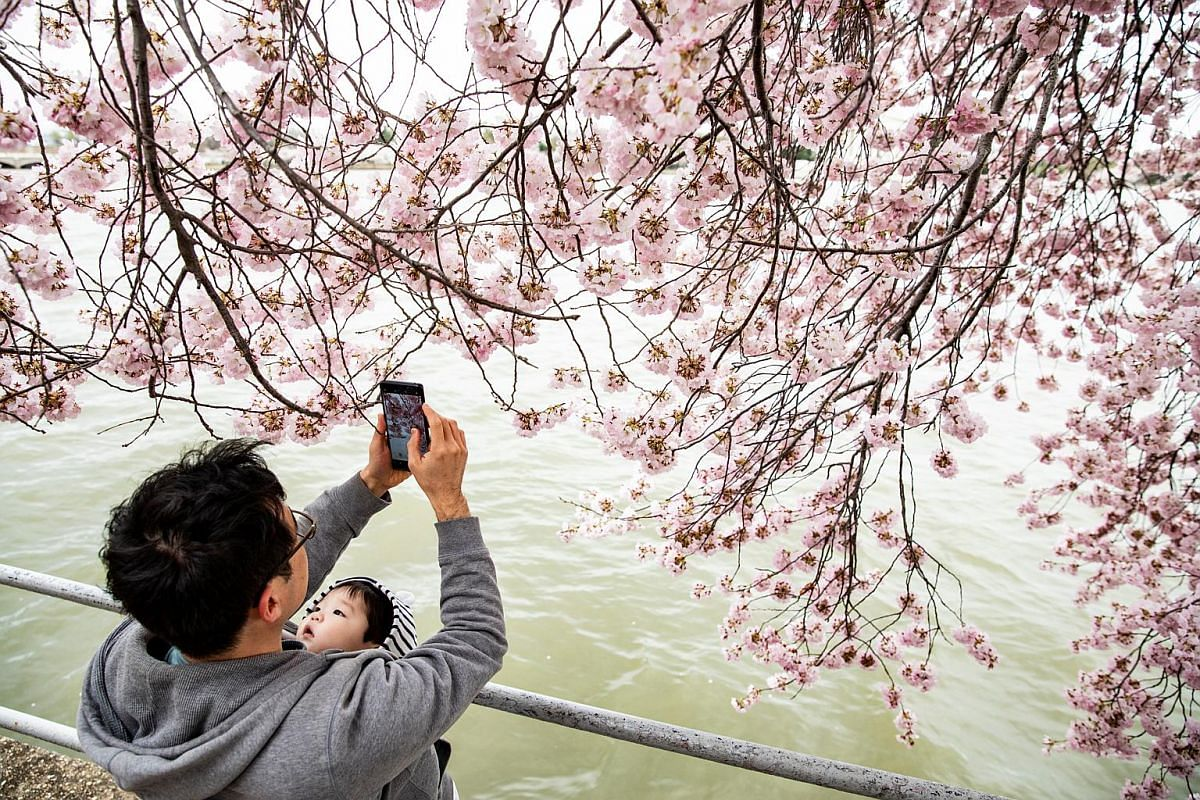 A visitor takes a picture of Yoshino cherry blossom trees as they approach peak bloom in Washington, DC, on March 31, 2019.