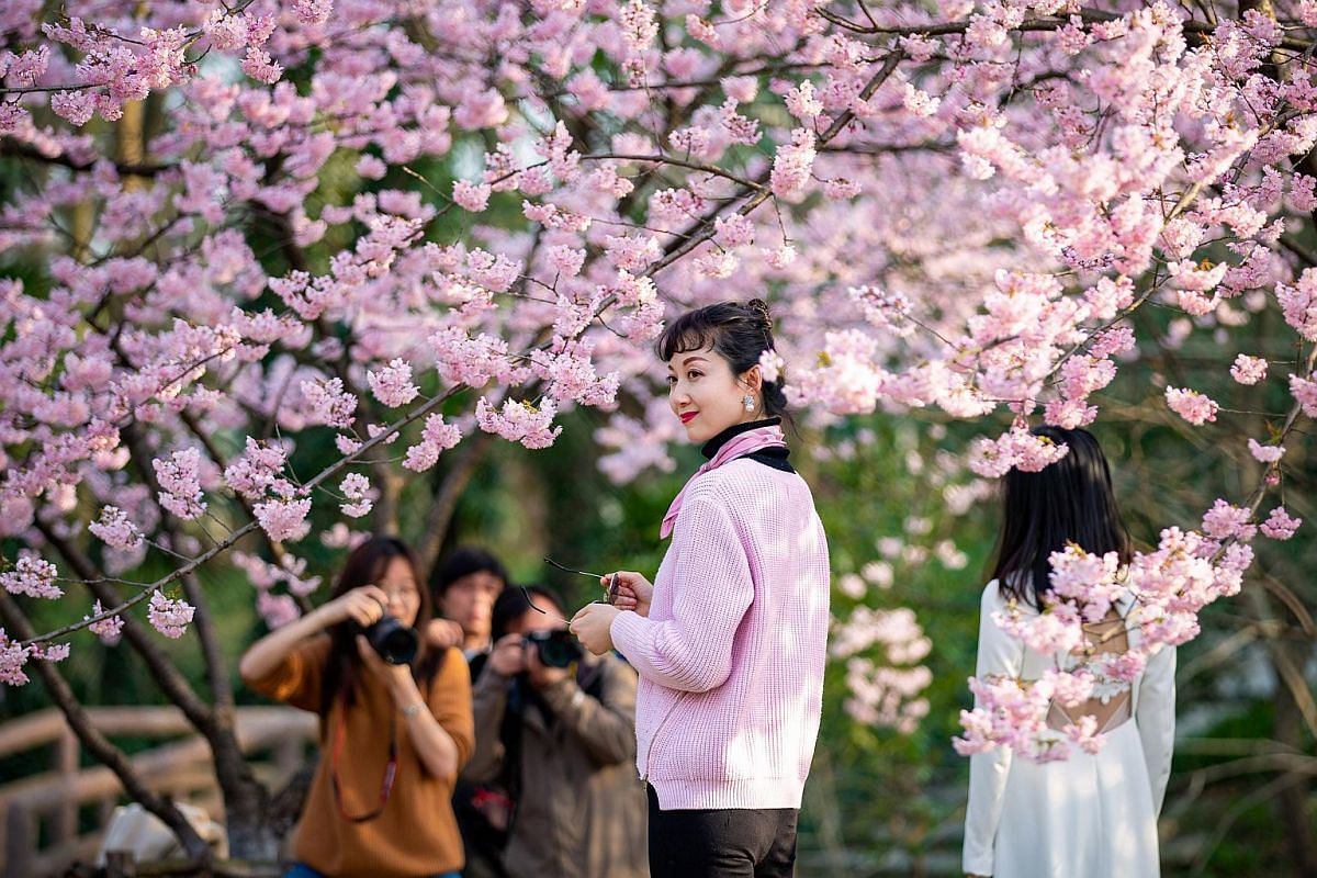 Visitors pose for pictures under blooming cherry blossom trees at a botanical garden in Nanjing, Jiangsu province, China, on March 14, 2019.