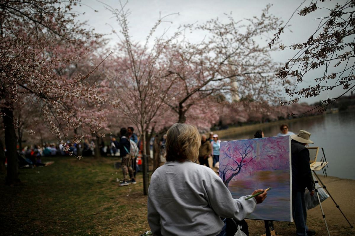 Blooming cherry blossoms provide inspiration to an artist in Washington, DC, on March 29, 2019.
