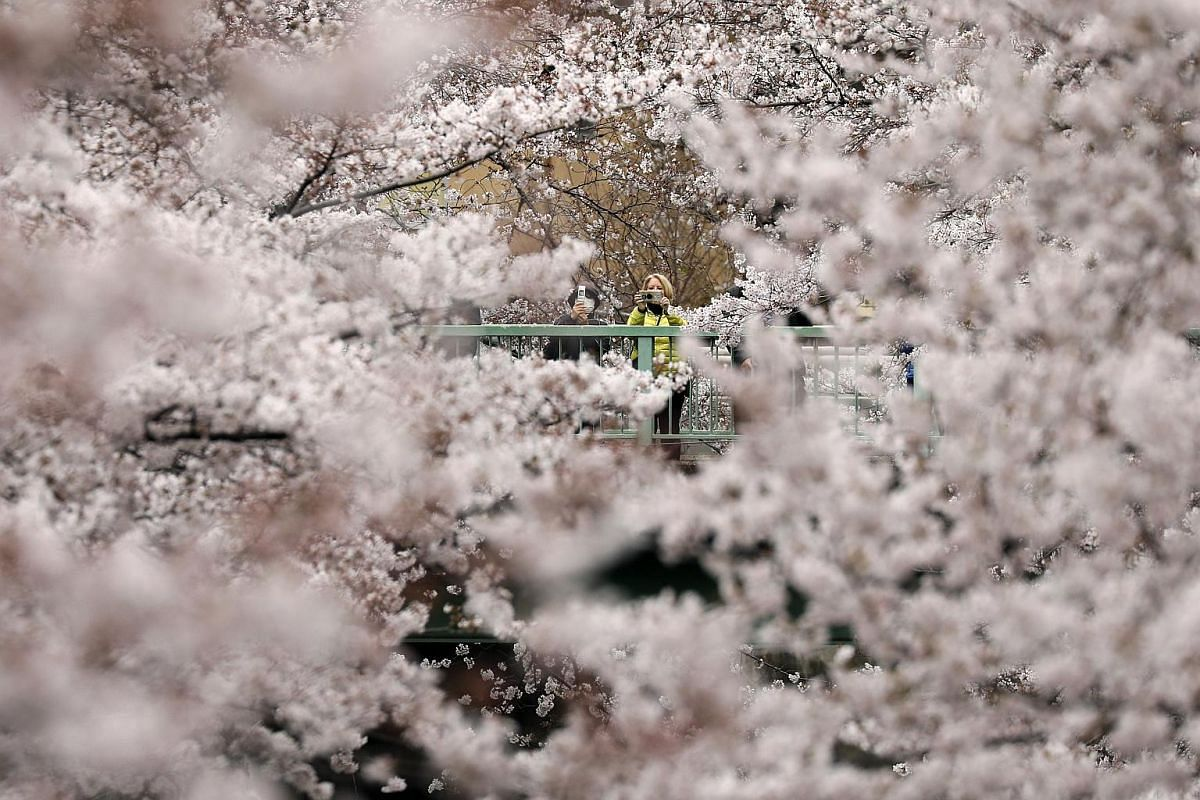 Visitors view cherry blossoms in almost full bloom in Tokyo on March 29, 2019.
