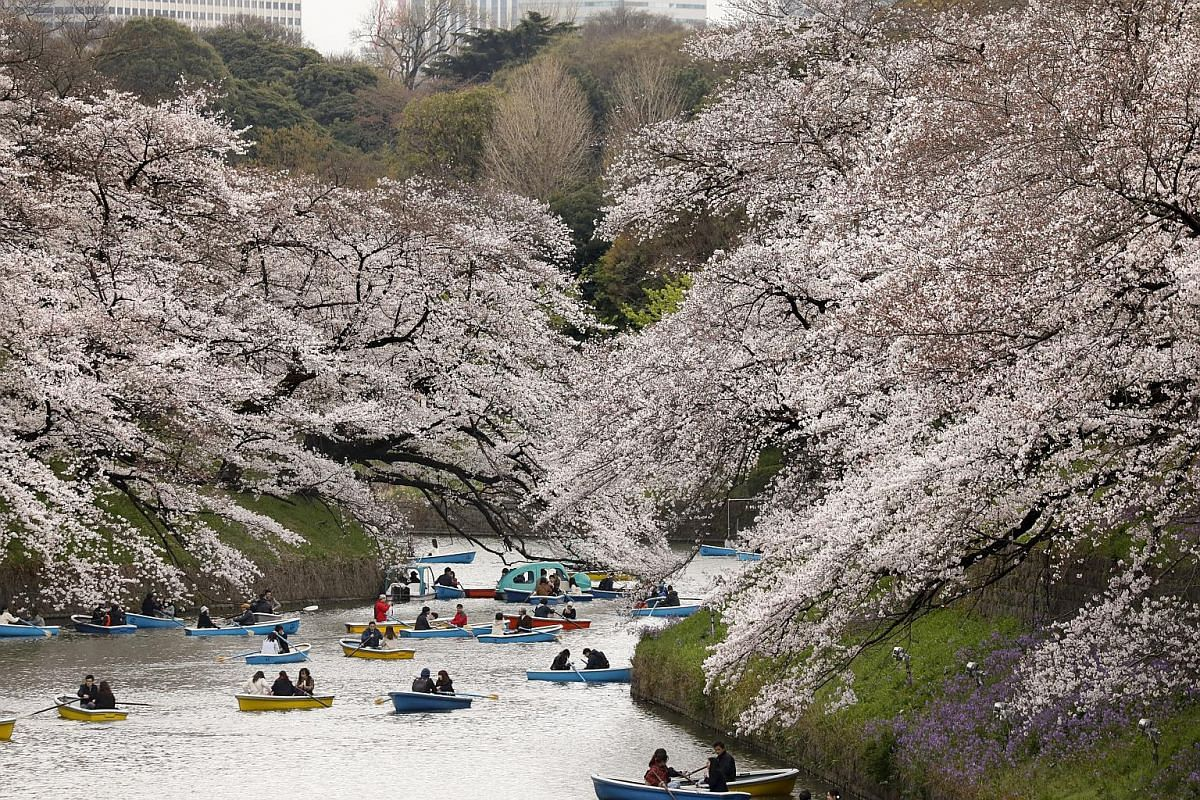 People float under cherry blossoms, which are almost in full bloom, on boats in Chidorigafuchi moat in Tokyo on March 29, 2019.