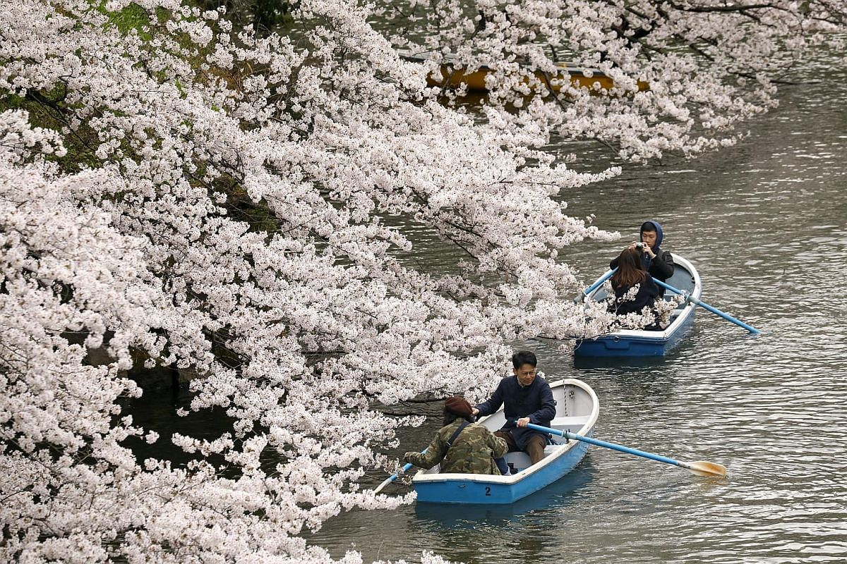 People look at cherry blossoms, which are almost in full bloom, from boats on the water of Chidorigafuchi moat in Tokyo on March 29, 2019.