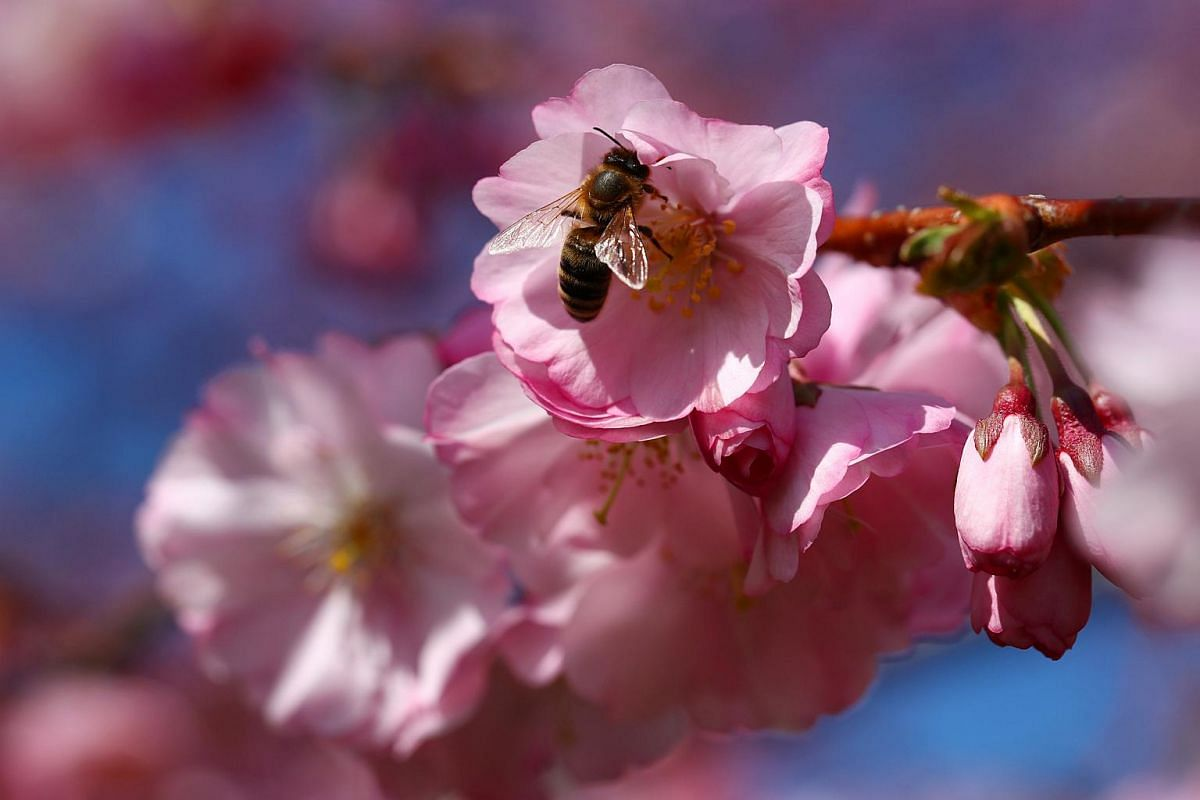 A bee searches for pollen among cherry blossoms on a sunny spring day in Lausanne, Switzerland, on March 25, 2019.