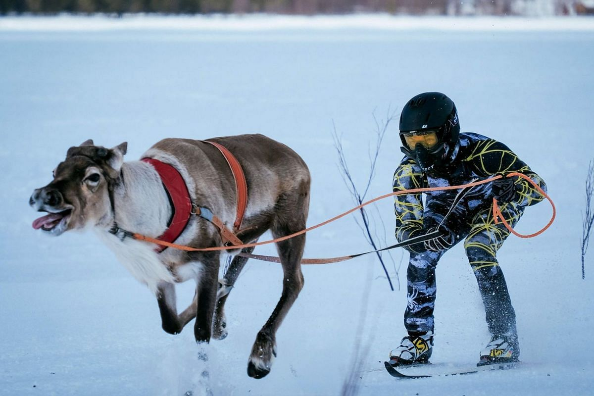 Reindeers pull their jockeys as they compete on the 1 km ice track of the final in the BRP Poro cup reindeer race on a lake in Inari, northern Finland on March 31, 2019. PHOTO: AFP