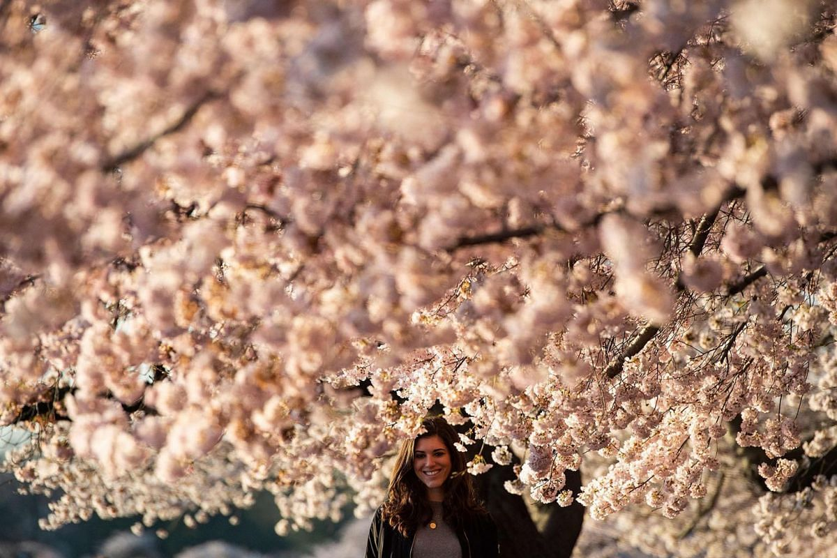 A woman stands under cherry blossom trees as the sun rises at the Tidal Basin in Washington, DC on April 3, 2019. PHOTO: AFP