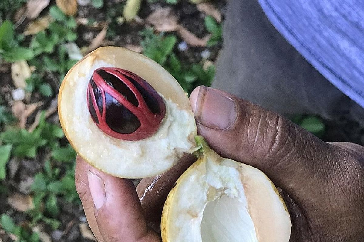 A freshly picked nutmeg fruit opens to reveal the nutmeg seed and the scarlet netting of mace which surrounds it.