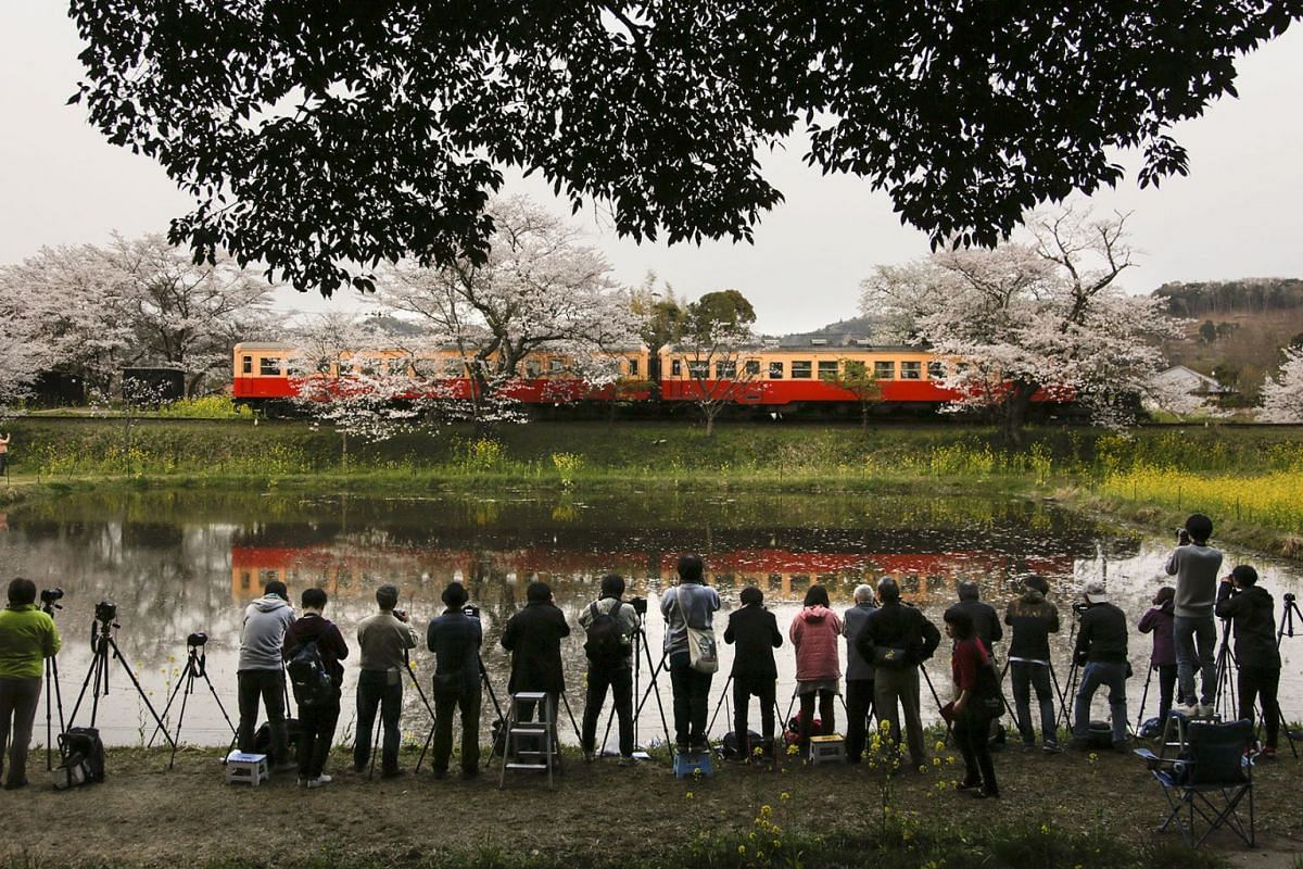 Visitors gather around a rice paddy field to take photos of a two-car train on the local Kominato railway line with cherry blossoms in full bloom, which are reflected on the water of a rice paddy field, at a station in Ichihara, Chiba Prefecture, eas