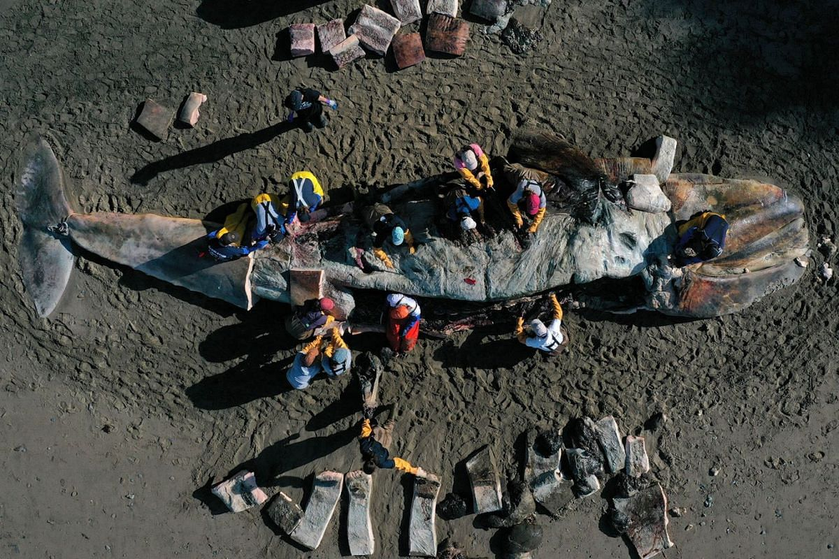 Scientists and volunteers with the Marine Mammal Center and California Academy of Sciences perform a necropsy on a beached grey whale on April 23, 2019 in Tiburon, California. PHOTO: GETTY IMAGES/AFP