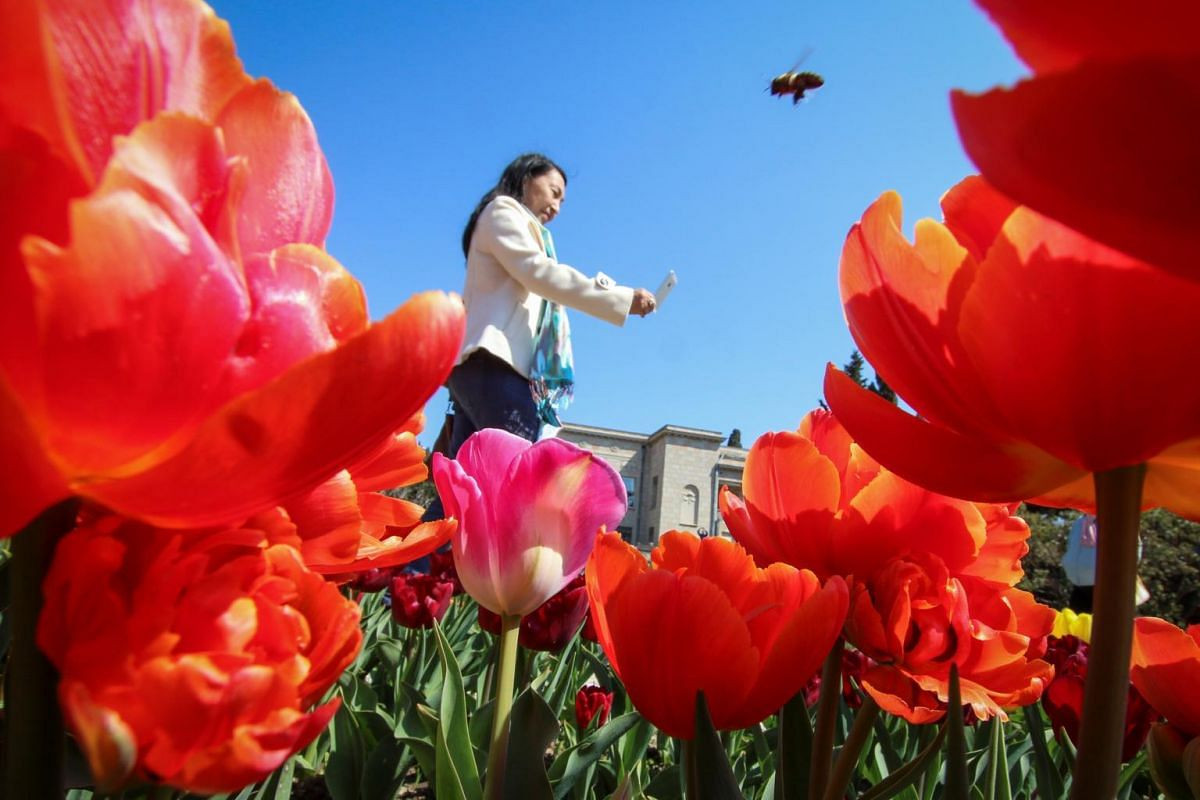 A woman photographs tulips during a flower show at the Nikitsky Botanical Garden outside Yalta, Crimea, on April 6, 2019.