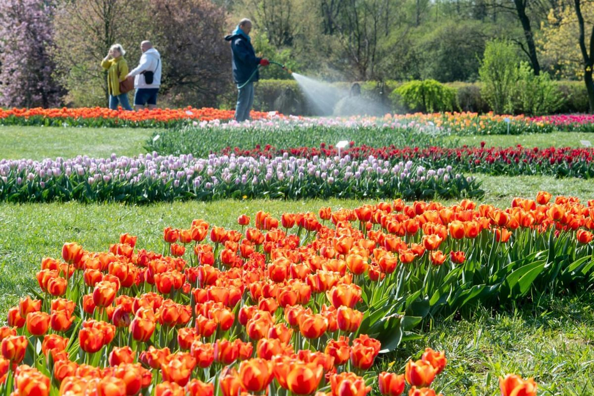 A view of a part of the collection of 61,000 tulips in 52 varieties blooming in the Botanical Garden in Lodz, Poland, on April 23, 2019.
