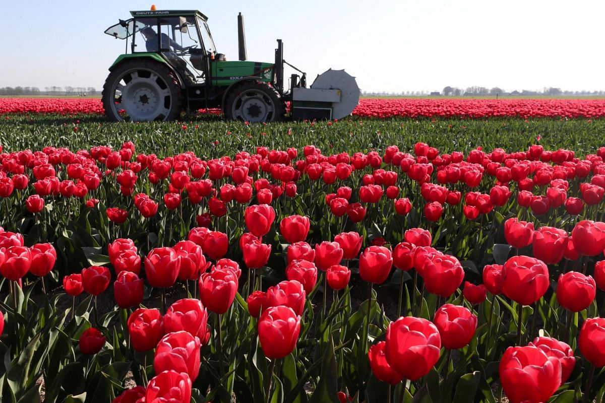 A farmer cuts tulips in a field near the city of Creil, Netherlands, on April 19, 2019.