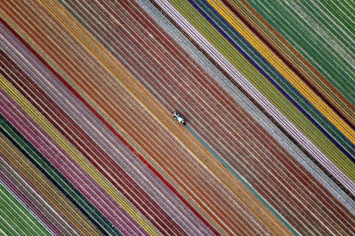An aerial picture taken by a drone shows a tractor harvesting blooming tulips on a field in Grevenbroich, Germany, 24 April 2019. PHOTO: EPA-EFE