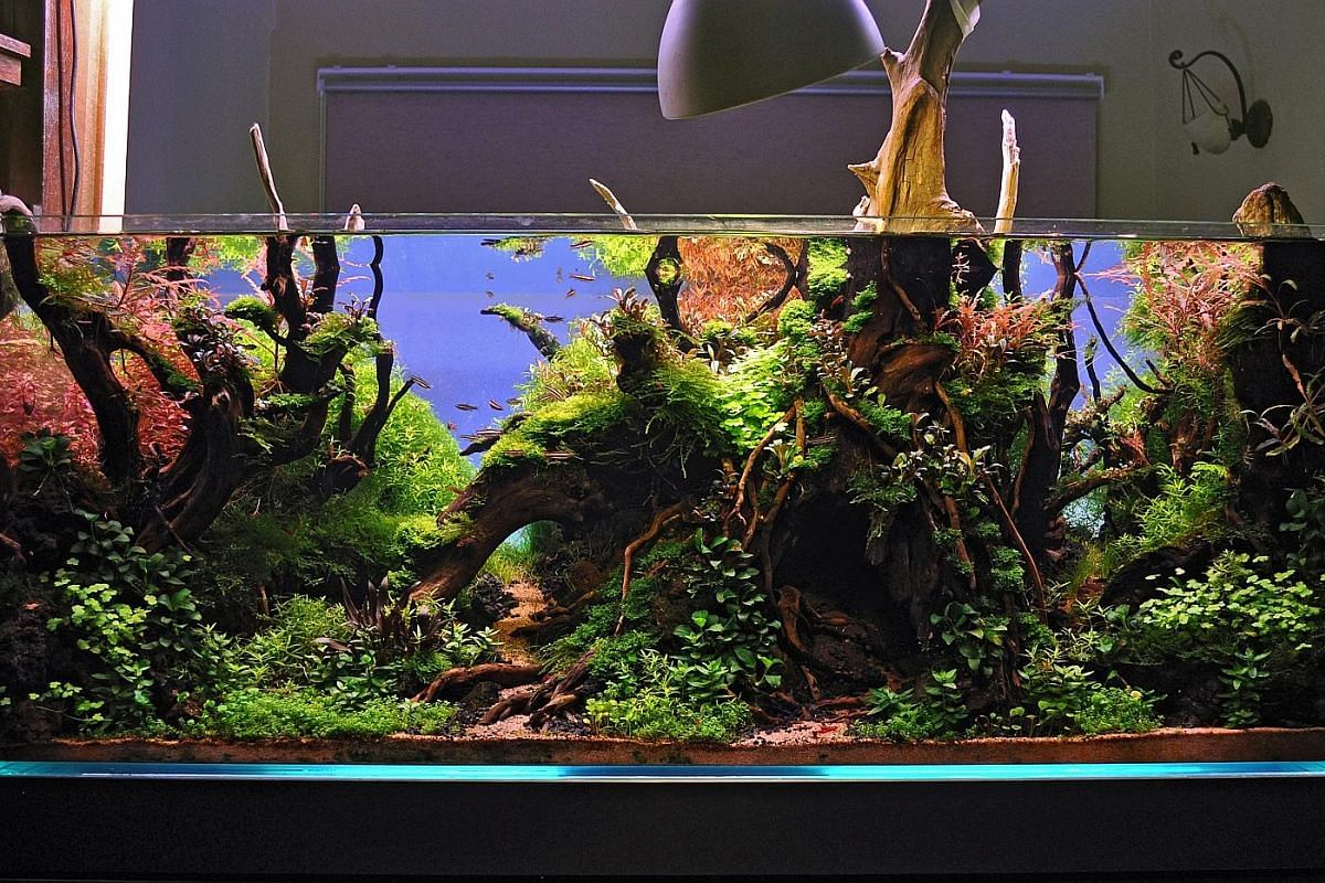This tank by aquascaping hobbyist Dennis Wong features plants, such as Christmas moss, and Malayan driftwood.