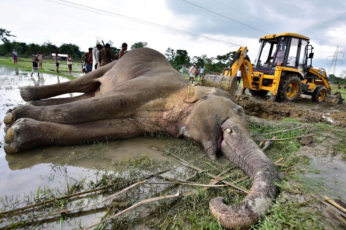 An excavator moves the carcass of an elephant for burial in Nagaon district in India's north-eastern state of Assam, on May 2, 2019. According to forest officials, the animal was electrocuted in a paddy field.