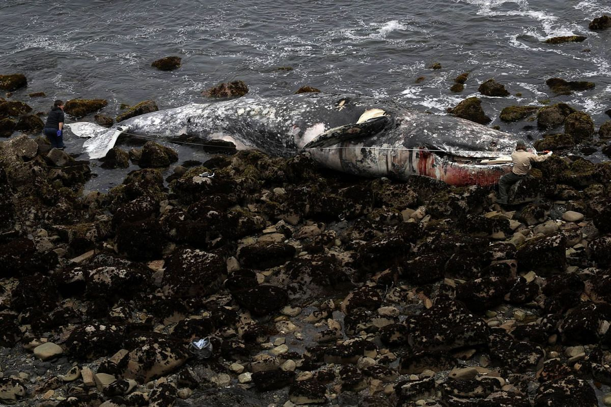 A Pacifica City worker (R) and a representative from the California Academy of Sciences (L) use a measuring tape to measure the length of a dead gray whale as it sits on the beach near Pacifica State Beach on May 14, 2019 in Pacifica, California. PHO