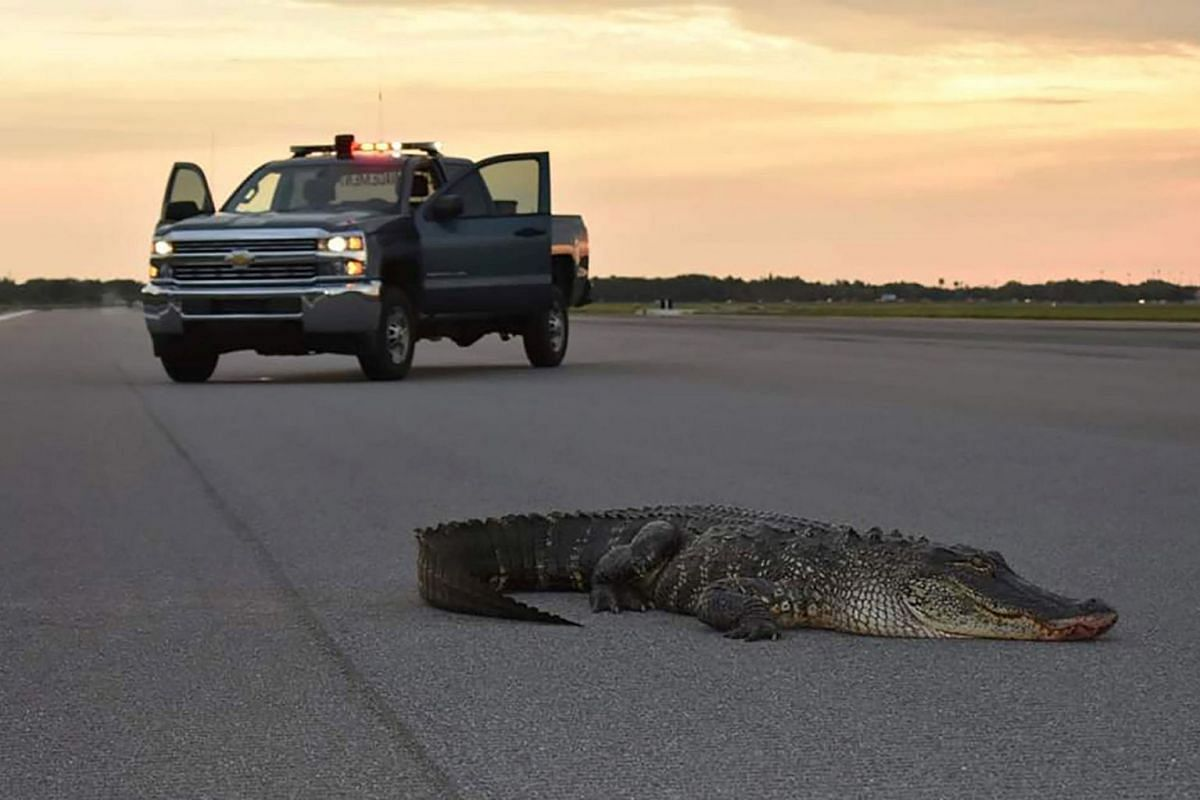 A handout photo issued on May 17, 2019 shows an alligator on a runway tarmac before being safely carried off the property of MacDill Air Force Base in Tampa, Florida, U.S. May 9, 2019. PHOTO: U.S. AIR FORCE VIA REUTERS
