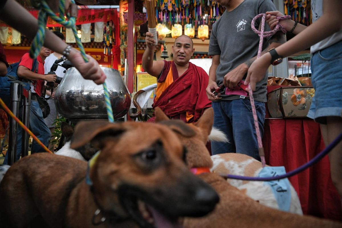Geshe Nyima, resident sangha monk at Thekchen Choling, a 24-hour Tibetan Buddhist temple in Singapore, blesses several dogs with holy water during Vesak Day celebrations at the temple, on May 19, 2019.