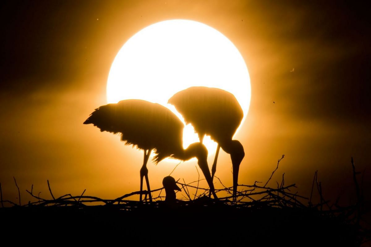 Two white storks and a stork chick are seen during the sunset in Lower Saxony, Laatzen, Germany on May 23, 2019. PHOTO: DPA