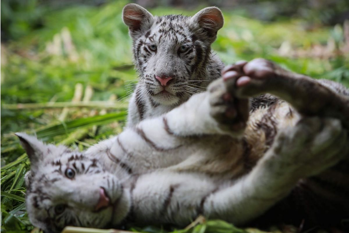 """Halime"" a female white tiger and Osman a Male white Tiger (Panthera tigris) of 5 months old and brought from Mexico are pictured resting at the National Zoo of Masaya about 16km from Managua on May 27, 2019. PHOTO: AFP"