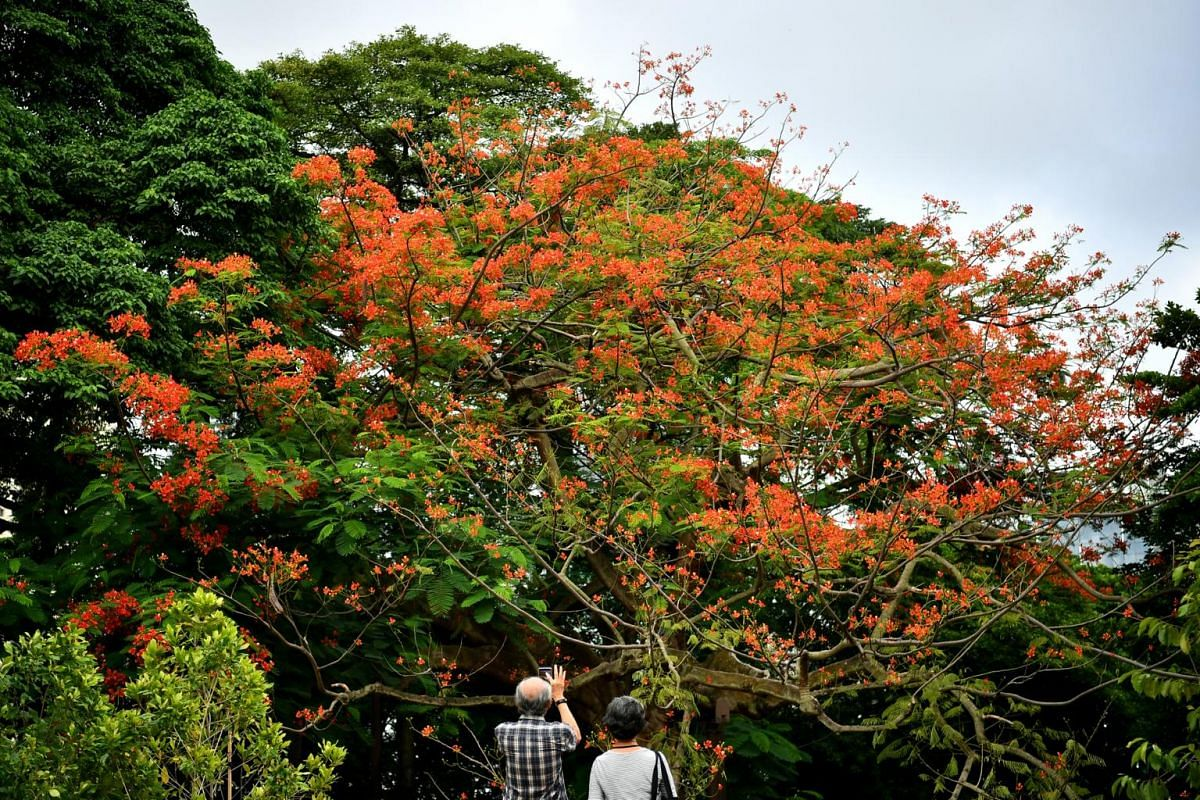 Visitors taking photographs of the flowering Fame of the Forest (Delonix regia) tree at the Raffles Garden. The garden is named after Sir Stamford Raffles (1781 to 1826), the founder of modern Singapore. It includes species collected, studied or plan
