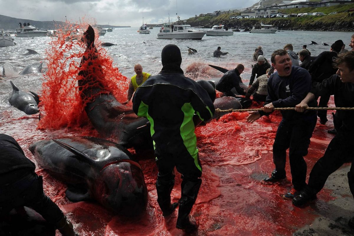 Fishermen and volunteers pull on the shore pilot whales they killed during a hunt, as blood turned the sea red, on May 29, 2019 in Torshavn, Faroe Islands. PHOTO: AFP