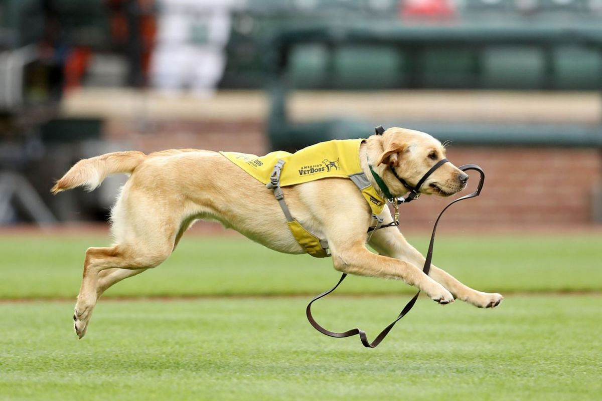 A service dog in training runs on the field after getting away from it's handler before the ceremonial first pitch before the start of the Baltimore Orioles and Detroit Tigers game at Oriole Park at Camden Yards on May 29, 2019 in Baltimore, Maryland