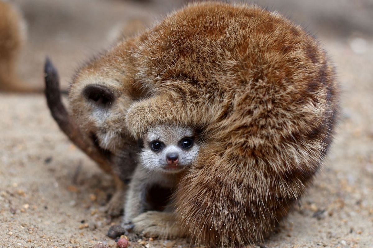 One of four newly born meerkats is seen at the zoo in Songkhla in southern Thailand May 29, 2019. PHOTO: REUTERS