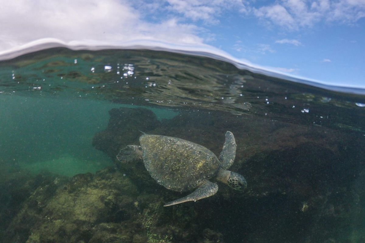 A marine turtle in the waters near Isabela in the Galapagos Islands.