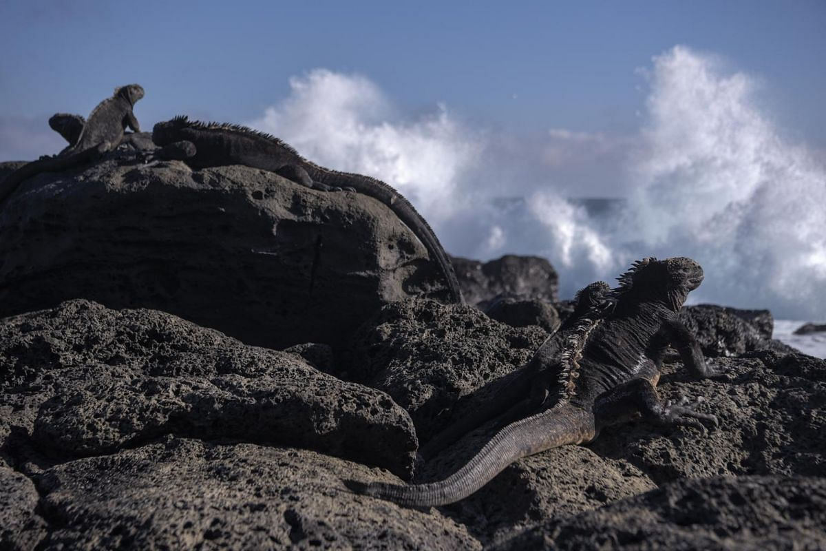 Marine iguanas sit on lava rock formations at La Loberia Beach on San Cristobal in the Galapagos Islands.