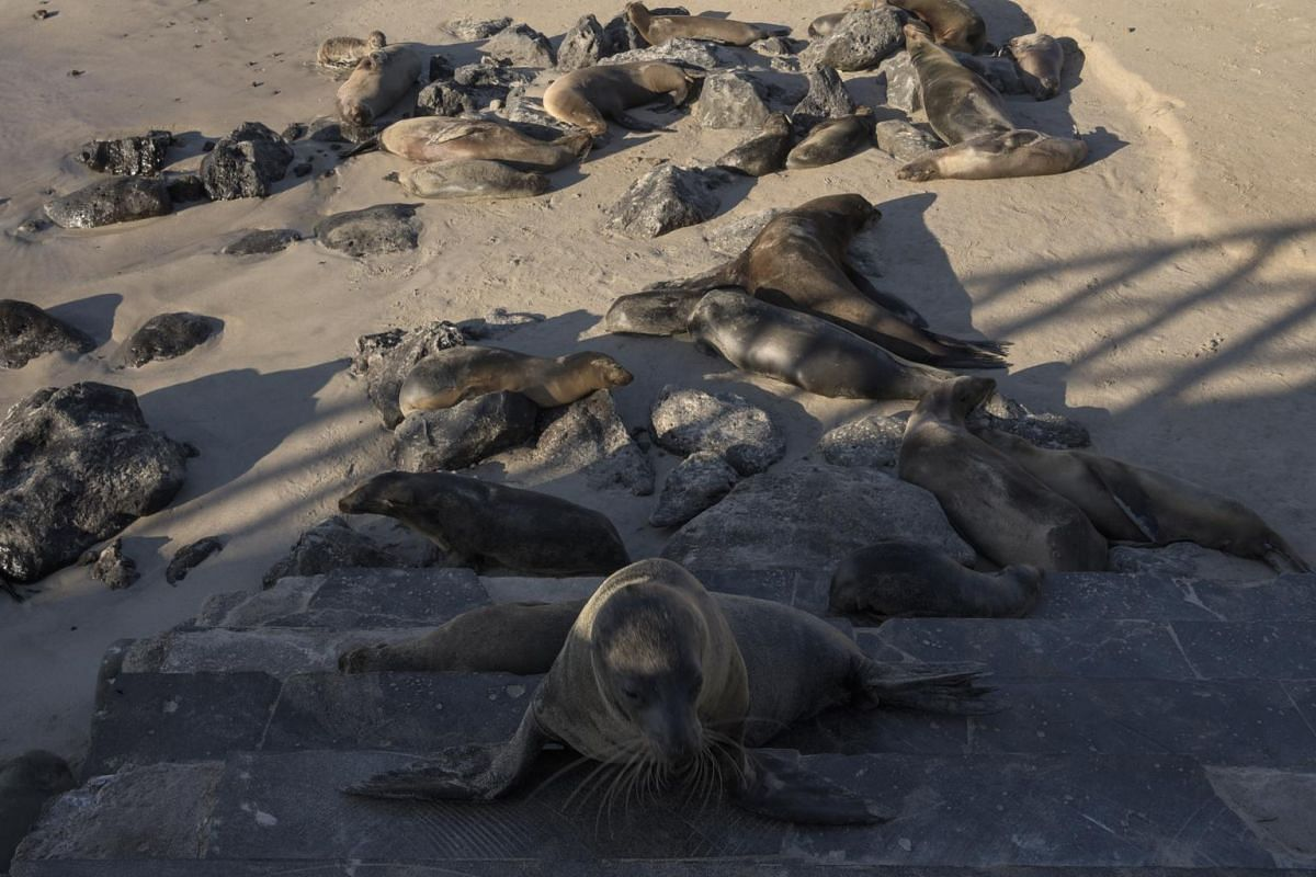 Sea lions at a beach in San Cristobal on the Galapagos Islands.
