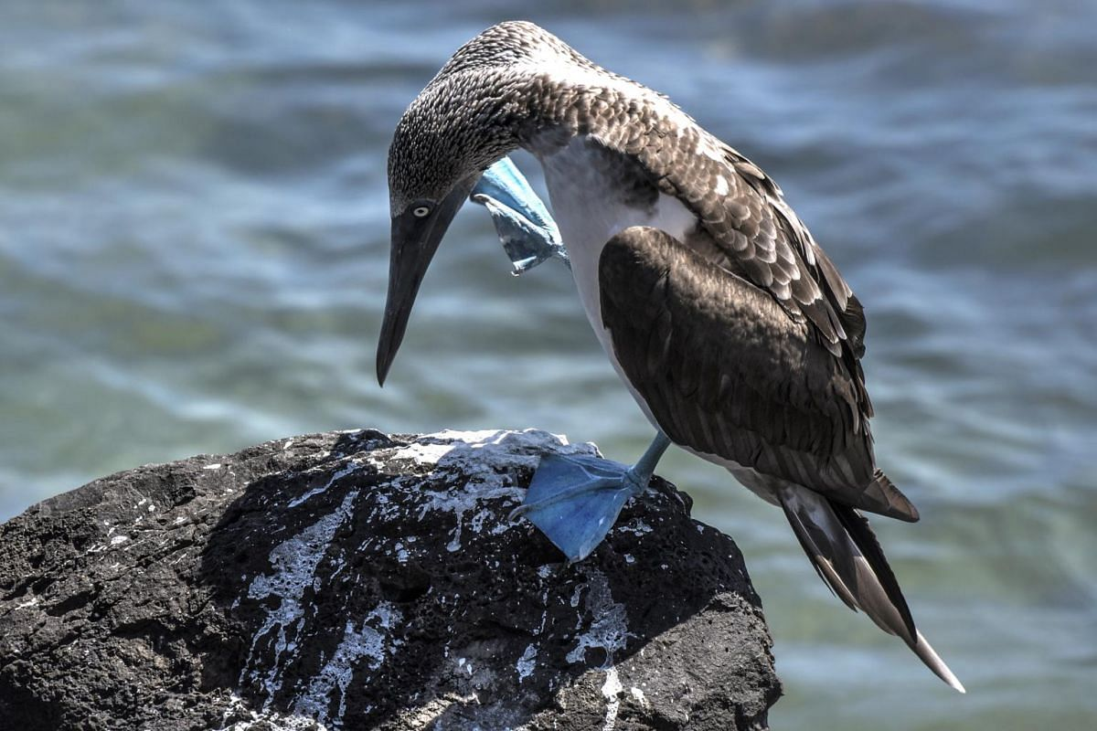A blue-footed booby perches on a rock near a jetty on San Cristobal in the Galapagos Islands.